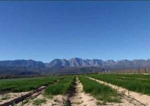 Propriétés du rooïbos bio, thé rouge d'Afrique du sud